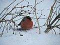 Снегирь. Чистополь. РТ. Февраль 2011 - panoramio.jpg