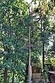 Сосна во дворе дома 17 по Минина.jpg