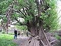Старовинна груша на Карнаватці 12.jpg