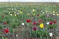 Тюльпаны в оренбургских степях 3.jpg