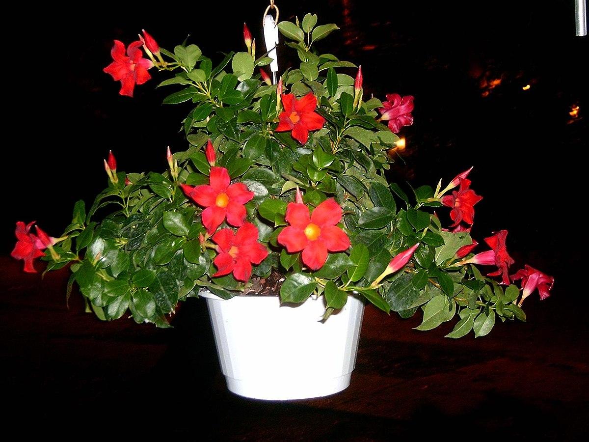 Лиана цветок уход