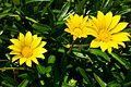 פרחים בישראל (54).JPG