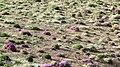 بوته های گون در اردیبهشت ، البرز مرکزی - panoramio.jpg