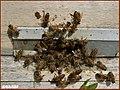 زنبور داری در مراغه - panoramio (5).jpg