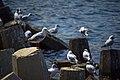 مرغ نوروزی یا یاعو از خانواده کاکائیان Gull 17.jpg