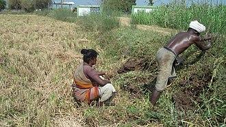 Irula people - Irula man and woman tilling the soil.