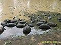 บ่อเลี้ยงเต่าบริเวรวัดโพธิ์สพเจริญผล - panoramio.jpg