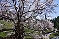 仏隆寺の「千年桜」 Sen-nen-zakura, 1000-year-old cherry tree in Butsuryūji 2013.4.13 - panoramio.jpg