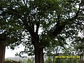 传说这棵大槐树下压了条大蛇 - panoramio.jpg