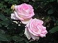 北播磨余暇村公園のバラ「プリンセス・ドモナコ」P6022992プリンセス・ドモナコ.JPG