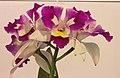 卡特蘭 Cattleya Mari's Magic -台南國際蘭展 Taiwan International Orchid Show- (40779158032).jpg