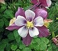 大花耬斗菜 Aquilegia glandulosa -上海國際花展 Shanghai International Flower Show- (17166017850).jpg