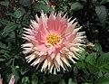 大麗花-半仙人掌型 Dahlia 'Semi-cactus' -新加坡濱海灣花園 Gardens by the Bay, Singapore- (24747308946).jpg