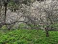 布虎梅園 Buhu Plum Garden - panoramio.jpg