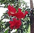 木槿屬 Hibiscus × archeri -比利時國家植物園 Belgium National Botanic Garden- (9207604216).jpg