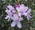 杜鵑花屬 Rhododendron smirnowii -比利時國家植物園 Belgium National Botanic Garden- (9198100409).jpg