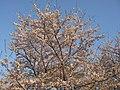 桜(うつぶな公園) - panoramio.jpg