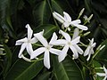 蕊木 Kopsia arborea -新加坡植物園 Singapore Botanic Gardens- (9240261262).jpg