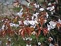 近つ飛鳥風土記の丘 第一展望台ちかくの山桜 Wild cherry blossoms 2013.3.30 - panoramio.jpg