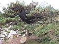 黄山奇松-蒲团松 - panoramio (1).jpg