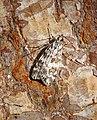 -1333- Scoparia pyralella (43960020742).jpg