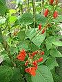 -2019-07-02 Runner beans plants in flower (Phaseolus coccineus), Trimingham, Norfolk (2).JPG