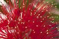 01052013 - Fleur d'arbre à goupillons (8859935510).jpg