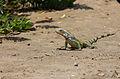 01 - Iguana.jpg