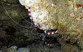 06-EastTimor-Advanced NightDive 026 (Coral Banded Shriimps)-APiazza.JPG