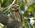 070224 spotted owl Q0S2745 - Flickr - Lip Kee.jpg