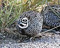 072 - MONTEZUMA QUAIL (11-13-2015) harshaw road, santa cruz co, az -04 male (22967548446).jpg
