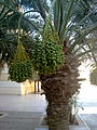 0 dates palm with dates in kuwait by irvin caliicut (13).jpg
