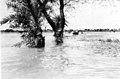 1955 East Punjab Flood 49574.jpg