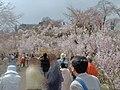 200404花見山界隈.jpg