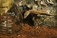 2008-06-01 Anolis carolinensis hunting ants in a flask 2.jpg