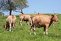 20100516 Vacas Vilarromarís, Oroso-2.jpg