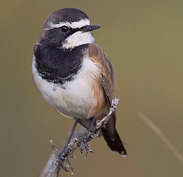 2011-Capped-Wheatear.jpg