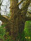 2014-04 Naturdenkmal Platane in Ohr.jpg