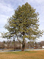 2014-12-30 12 10 33 Himalayan Pine on Metzger Drive at the College of New Jersey in Ewing, New Jersey.JPG