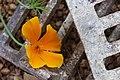 2014-365-113 Poppy on Toppy (13992773224).jpg
