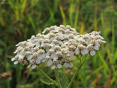 240px 20140930achillea millefolium