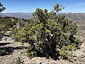 2015-04-27 12 49 30 An old Utah Juniper on the north wall of Maverick Canyon, Nevada.jpg