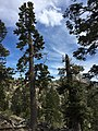2015-04-30 15 58 27 Firs along the Trail Canyon Trail in the Mount Charleston Wilderness, Nevada about 1.8 miles north of the trailhead.jpg