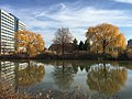 2015-12-08 12 33 16 Weeping Willows with autumn foliage next to a pond along Woodland Park Road in McNair, Fairfax County, Virginia.jpg