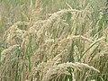 20150823Calamagrostis epigejos2.jpg