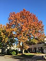 2017-11-10 15 01 16 Pin Oak during late autumn along Dairy Lou Drive near Franklin Farm Road in the Franklin Farm section of Oak Hill, Fairfax County, Virginia.jpg