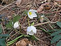 2018-01-28 (110) Helleborus niger (christmas rose) at Haltgraben at border area between Frankenfels at Kirchberg an der Pielach.jpg