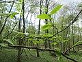 20180416Carpinus betulus.jpg