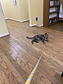 2019-09-28 20 41 10 A tabby cat pulling a thin rope in the Franklin Farm section of Oak Hill, Fairfax County, Virginia.jpg