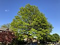 2020-05-10 18 29 35 Pin Oak leafing out in spring along Scotsmore Way in the Chantilly Highlands section of Oak Hill, Fairfax County, Virginia.jpg